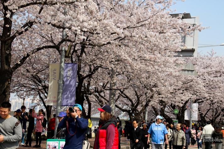 Yeouido Park Cherry Blossom - HANA-Muv.com Photo-1