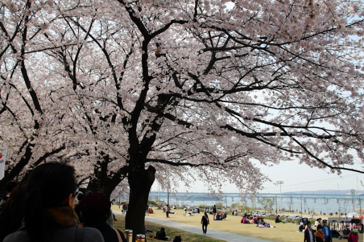 Yeouido Park Cherry Blossom - HANA-Muv.com Photo-2