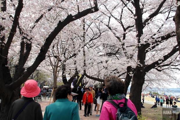 Yeouido Park Cherry Blossom - HANA-Muv.com Photo-3
